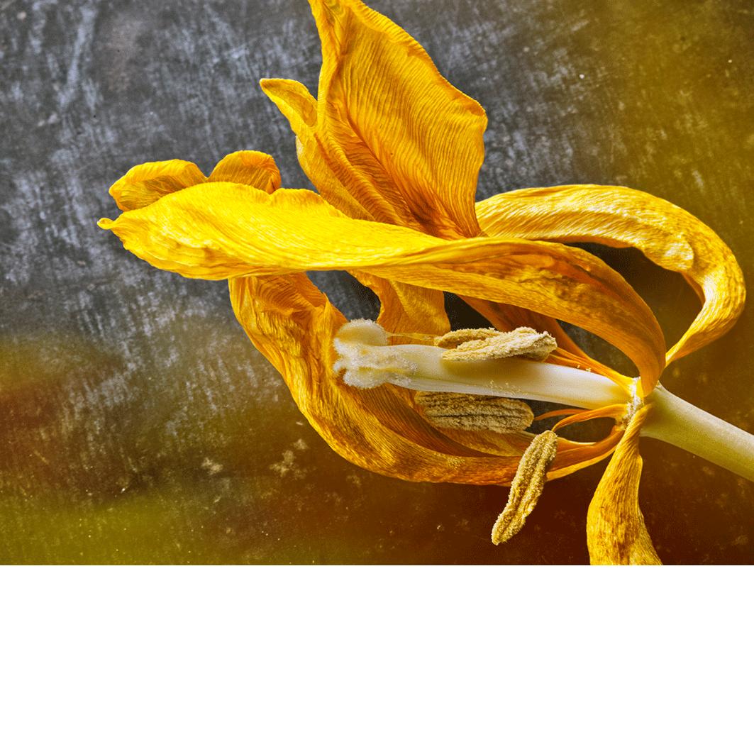 Beauté fugace – jaune