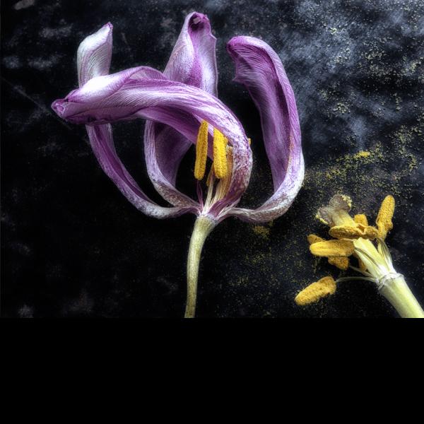 Beauté fugace – violet