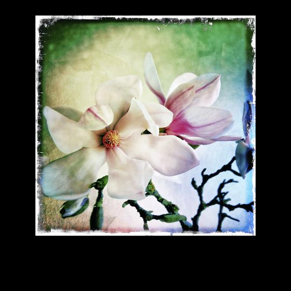 Le Magnolia 1