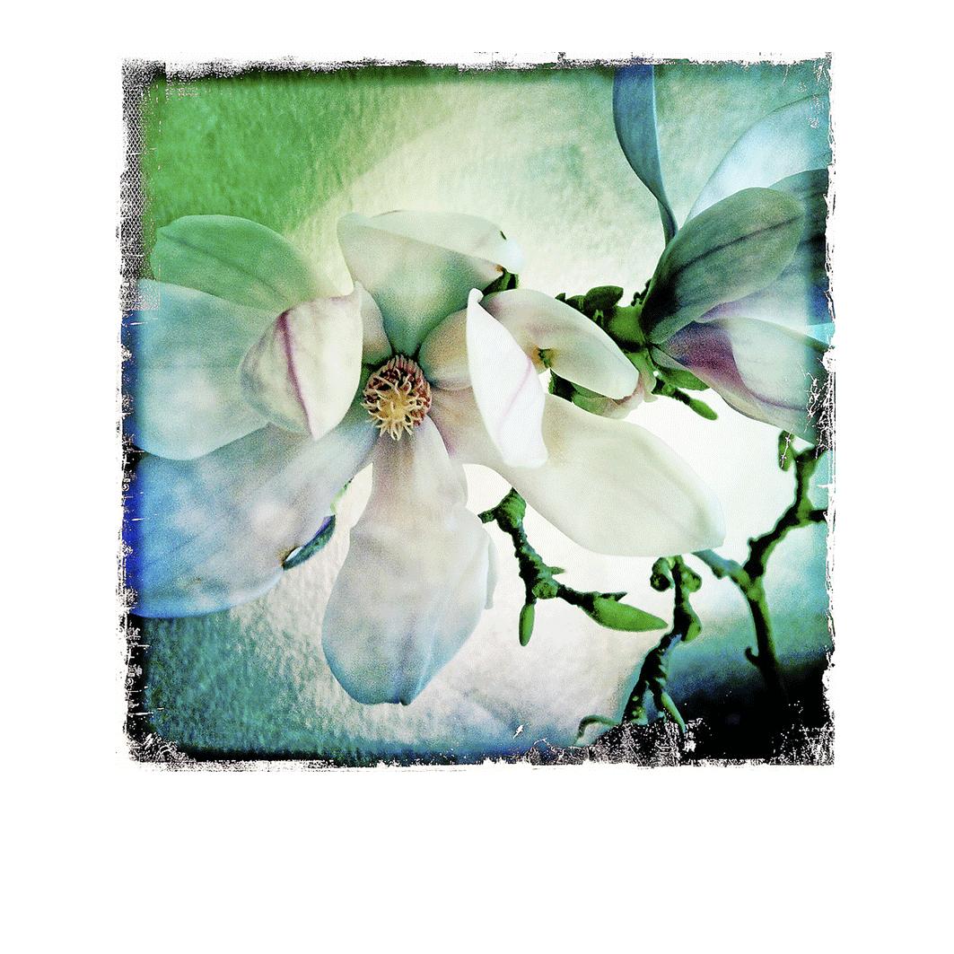 Le Magnolia 2